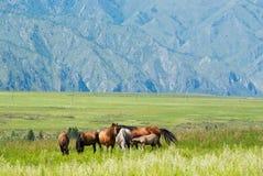 Wild paarden in de weide in de bergen Stock Fotografie