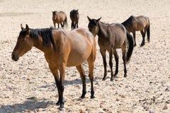 Wild paarden in de Woestijn Royalty-vrije Stock Afbeelding