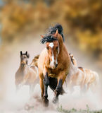 Wild paarden die in de herfst lopen Royalty-vrije Stock Afbeeldingen