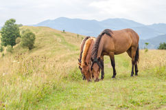 Wild paarden die gras het Karpatische landschap in van de Karpaten, de Oekraïne eten Royalty-vrije Stock Foto