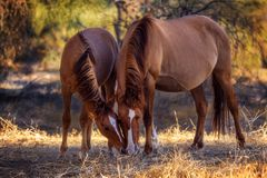 Wild paarden die langs de Zoute Rivier weiden Stock Fotografie