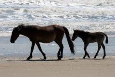 Wild paarden die langs het strand in Corolla lopen, Noord-Carolina stock foto's