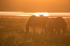 Wild paarden die op de zomerweide bij zonsondergang weiden Royalty-vrije Stock Foto
