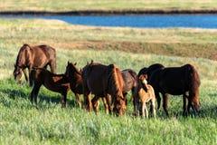Wild paarden die op de zomerweide weiden Royalty-vrije Stock Foto