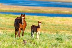 Wild paarden die op de zomerweide weiden Royalty-vrije Stock Afbeeldingen