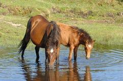 Wild paarden die in vijver drinken Royalty-vrije Stock Afbeelding