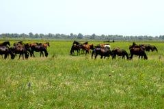 Wild paarden in een reserve in de Delta van Donau, Tulcea, Roemenië Stock Foto