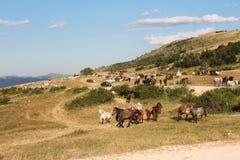 Wild paarden en problemen van verkeer Royalty-vrije Stock Afbeeldingen