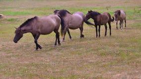 Wild paarden het gaan Royalty-vrije Stock Afbeelding