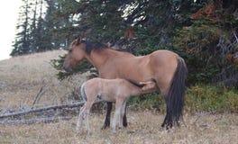 Wild paarden - het veulen die van het Babyveulen zijn moeder in de Pryor-Waaier van het Bergenwild paard op de grens van Montana  Stock Foto's