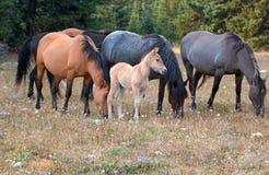 Wild paarden - het veulen van het Babyveulen met moeder en kudde in de Pryor-Waaier van het Bergenwild paard in Montana de V.S. Stock Foto