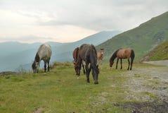 Wild paarden in hooggebergte Stock Fotografie