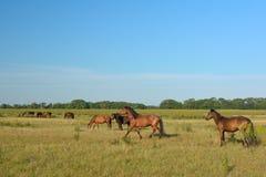 Wild paarden in Letea, die op een Weide weiden Stock Foto