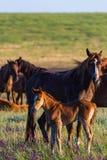 Wild paarden, merrie en veulen in het wilde leven stock fotografie