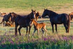 Wild paarden, merrie en veulen in het wilde leven royalty-vrije stock afbeeldingen