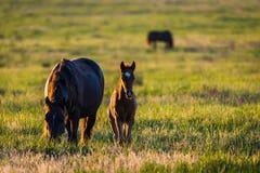 Wild paarden, merrie en veulen in het wilde leven royalty-vrije stock foto