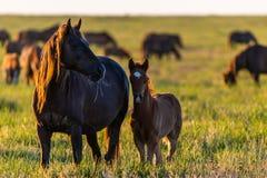 Wild paarden, merrie en veulen in het wilde leven stock afbeelding