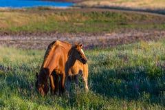 Wild paarden, merrie en veulen in het wilde leven stock foto