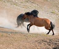 Wild paarden/Mustanghengsten die in de Pryor-Waaier van het Bergenwild paard op de staatsgrens van Wyoming en Montana de V.S. vec Stock Fotografie