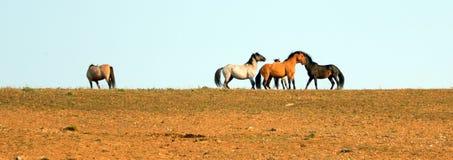 Wild paarden/Mustangs die weg alvorens in de Pryor-Waaier van het Bergenwild paard op grens van Wyoming en Montana de V.S. te vec Royalty-vrije Stock Foto