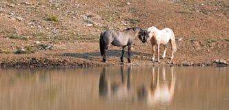 Wild paarden/Mustangs die weg alvorens in de Pryor-Waaier van het Bergenwild paard op grens van Wyoming en Montana de V.S. te vec Stock Fotografie