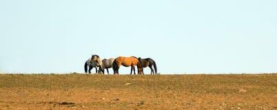 Wild paarden/Mustangs die weg alvorens in de Pryor-Waaier van het Bergenwild paard op grens van Wyoming en Montana de V.S. te vec Royalty-vrije Stock Fotografie
