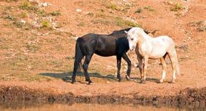 Wild paarden/Mustangs die weg alvorens in de Pryor-Waaier van het Bergenwild paard op grens van Wyoming en Montana de V.S. te vec Royalty-vrije Stock Afbeeldingen