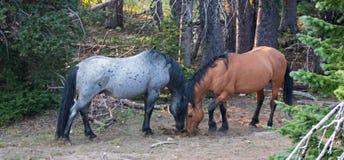 Wild paarden/Mustangshengsten die een nagelstapel van mest in de Pryor-Waaier de V.S. snuiven van het Bergenwild paard Stock Foto