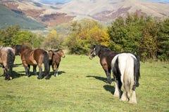 Wild paarden op een weiland in de de herfstberg Royalty-vrije Stock Afbeelding