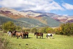 Wild paarden op een weiland in de de herfstberg Royalty-vrije Stock Foto
