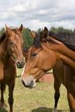 Wild paarden op het gebied royalty-vrije stock afbeelding