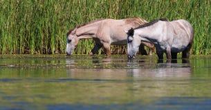 Wild paarden @ Rio Salado & x28; Zoute River& x29; Royalty-vrije Stock Afbeelding