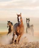 Wild paarden in stof stock afbeeldingen