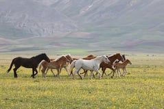 Wild paarden, Umbrië Royalty-vrije Stock Foto's