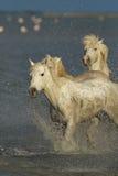 Wild paarden van Camargue stock foto