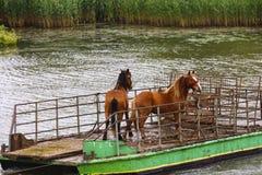 Wild paarden van de gevangen deltadelta en vervoerd door ferr Stock Fotografie