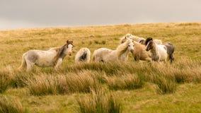 Wild paarden in Wales royalty-vrije stock fotografie