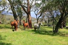 Wild paarden in weide Stock Foto's