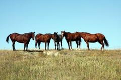 Wild paarden in Zuid-Dakota Stock Afbeeldingen