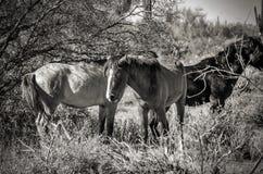 Wild paarden in zwart-wit in Arizona Royalty-vrije Stock Afbeelding