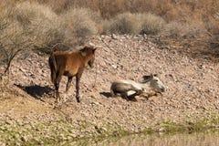 Wild paardenmerrie en Veulen royalty-vrije stock foto's