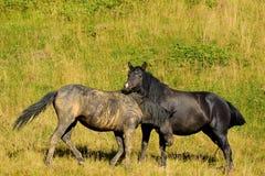 Wild paardenspel bij berg Jahorina Royalty-vrije Stock Afbeelding