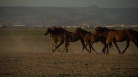Wild paardkudden die in de woestijn, kayseri, Turkije lopen royalty-vrije stock afbeeldingen