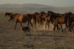 Wild paardkudden die in het riet, kayseri, Turkije lopen royalty-vrije stock afbeeldingen