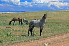 Wild paardmustang Gray Grulla Roan Stud Stallion in de Pryor-bergen in Wyoming/Montana royalty-vrije stock afbeelding