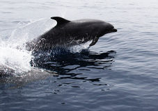 Wild Pacific Bottlenose Dolphin. A wild, Pacific Bottlenose dolphin races through calm waters off California Stock Photography
