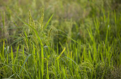 Wild paddy on paddy field. Bunch of Wild paddy grow in the middle of paddy field Royalty Free Stock Images