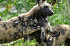 Wild painted dogs with open mouths and teeth visible establishing dominance. Two wild dog siblings playing with each other against a green environment Stock Image