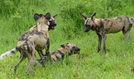 Wild painted dogs Stock Image