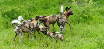 Wild painted dogs Royalty Free Stock Photography